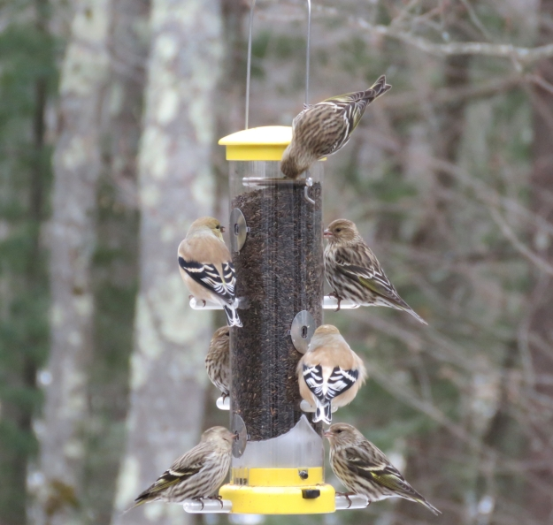 Pine Siskins and Goldfinches