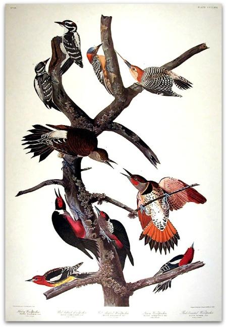woodpeckers audubon