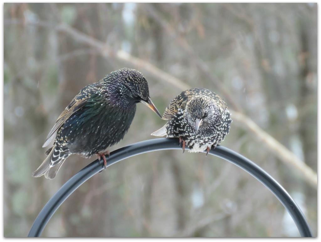 2 starlings