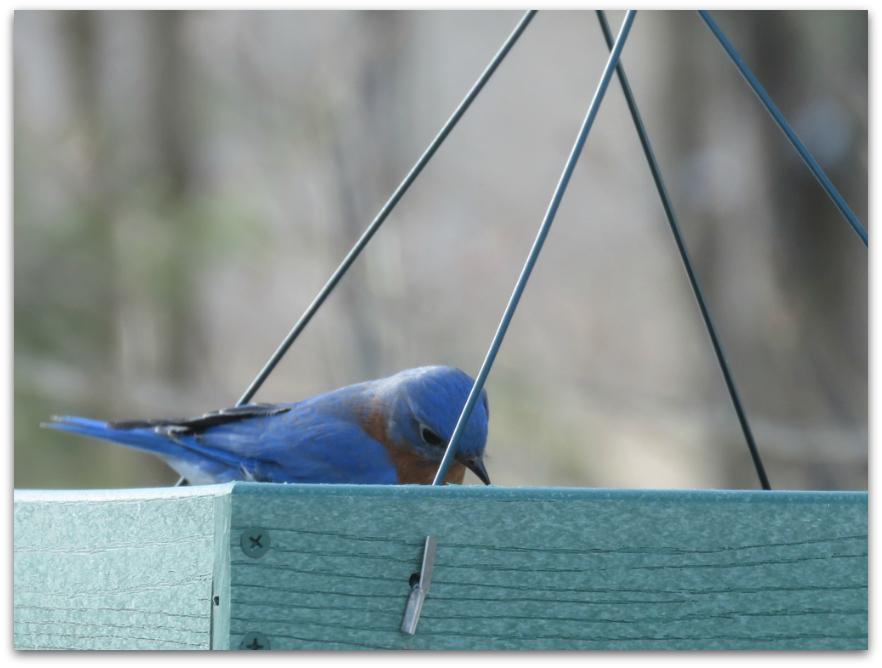 bluebird tray feeder