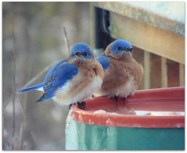 bluebirds two