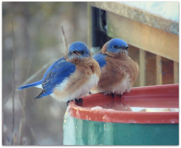 bluebirds two