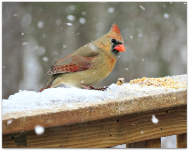 female cardinal snow
