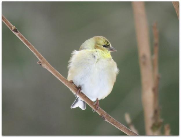 Goldfinch puffball
