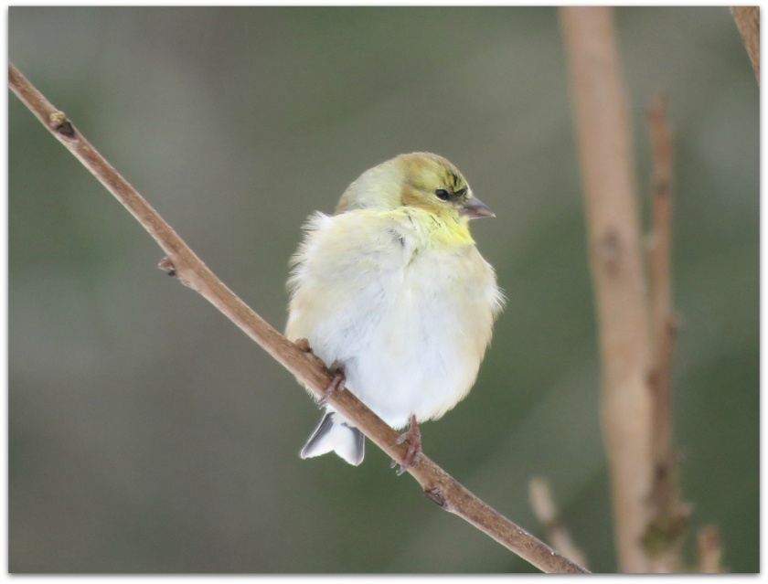 Goldfinch puffball