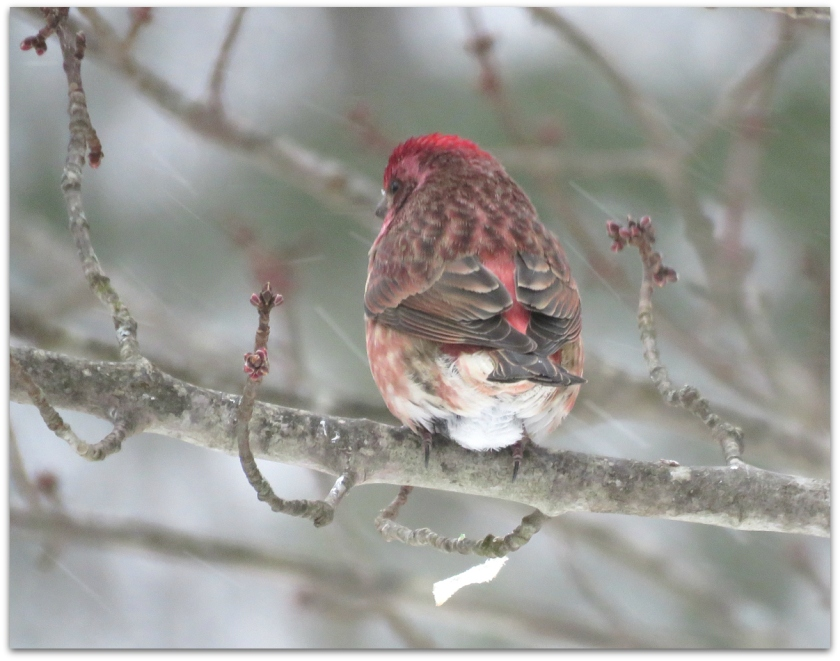 purple finch back