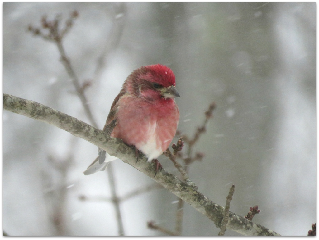 Purple Finch Valentine