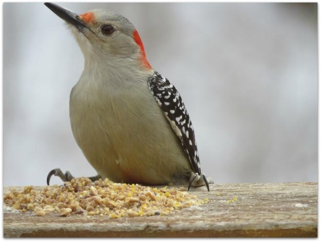 Red-bellied Woodpecker1