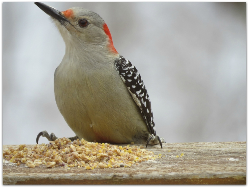 Red-bellied Woodpecker1