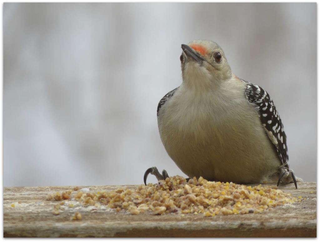 Red-bellied Woodpecker2