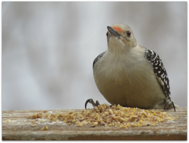 Red-bellied Woodpecker2