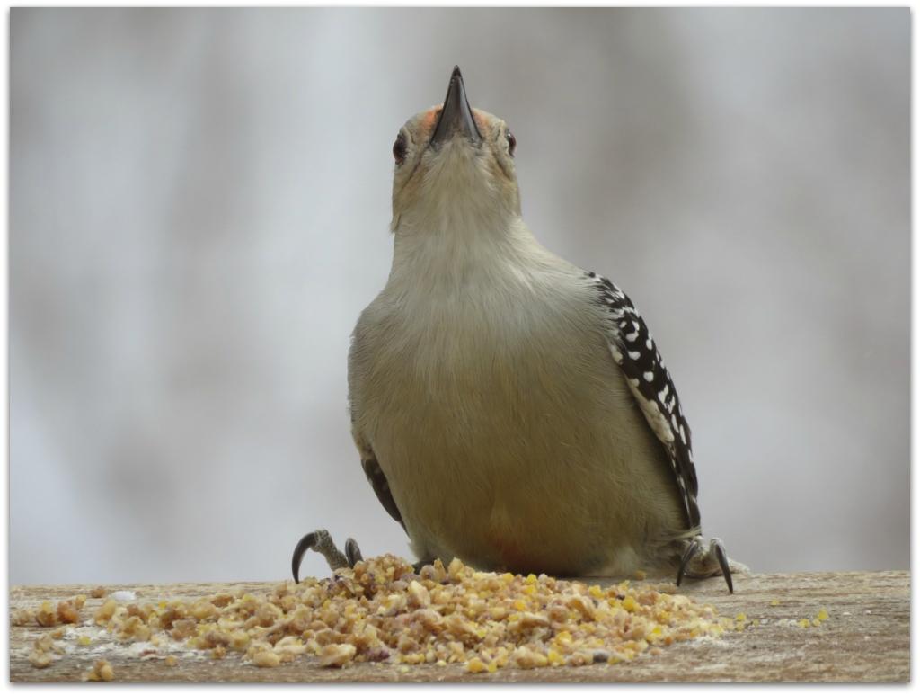 Red-bellied Woodpecker4