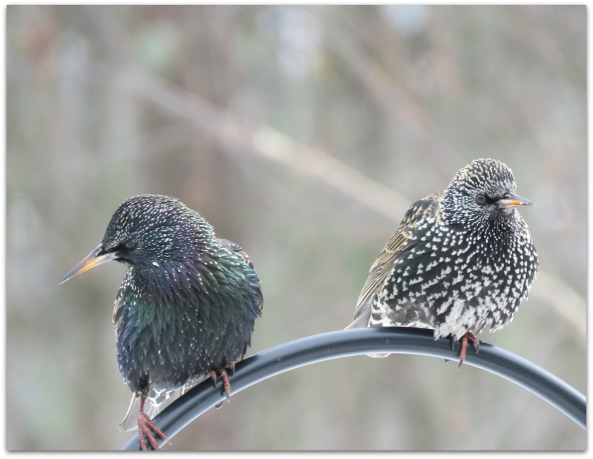 starlings two