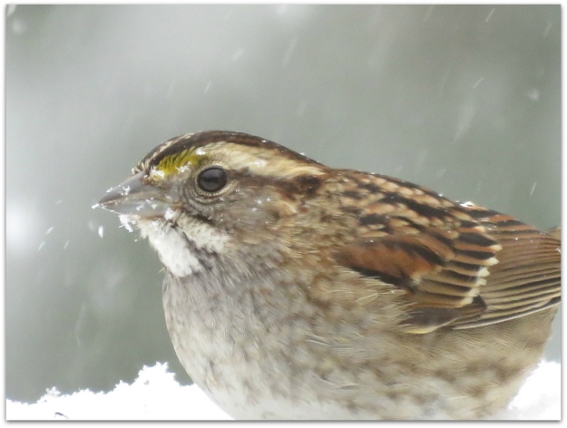 White-throated Sparrow close up
