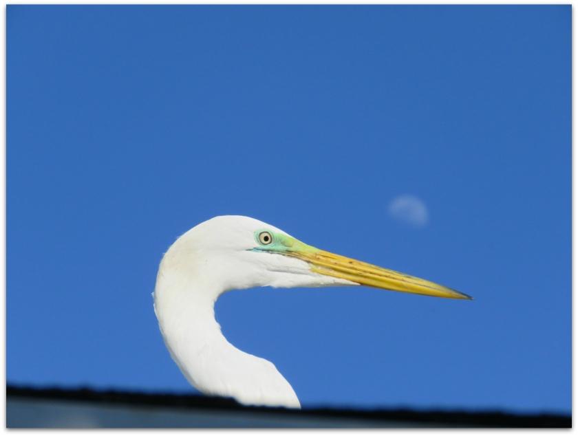 egret moon