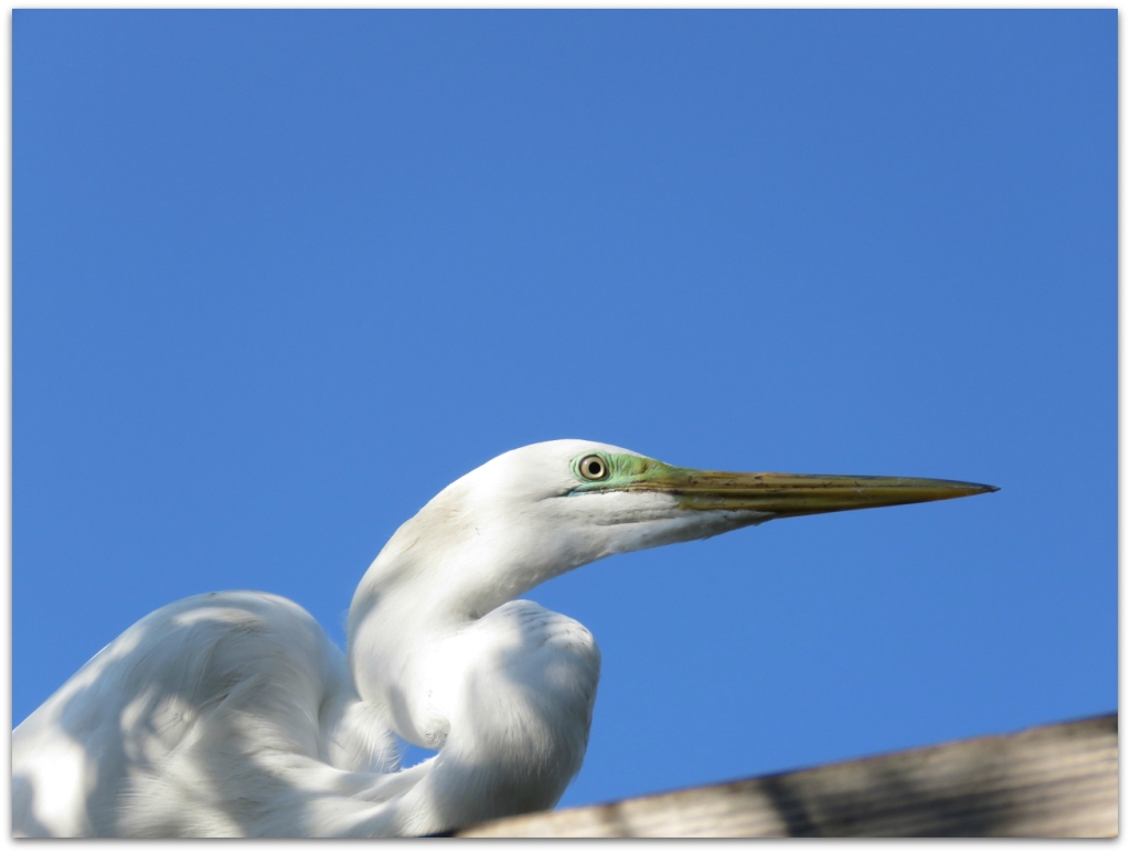 great egret head