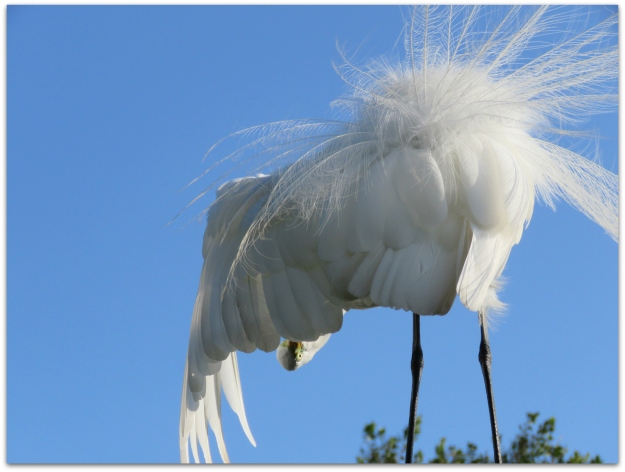 Great Egret Amys Birds Page 3