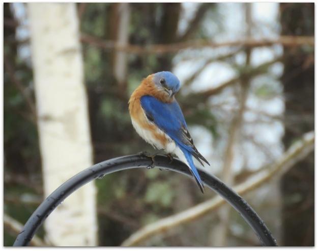 bluebird begs