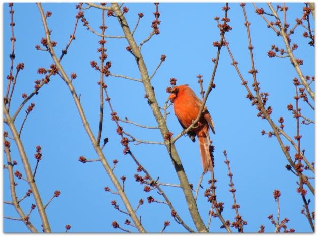 Cardinal at Dawn