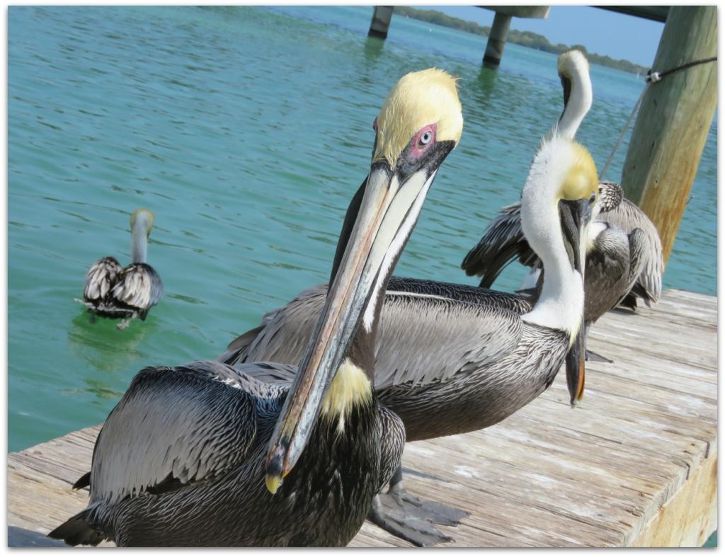 pelican robbie's