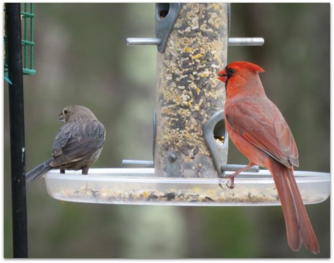 cowbird and cardinal