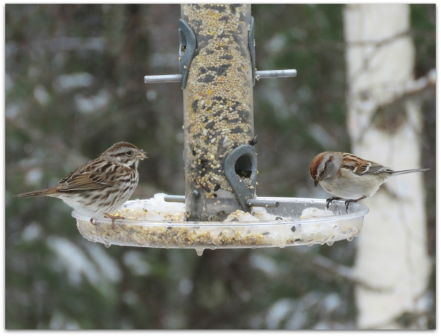 song and tree sparrows