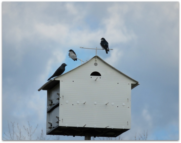 tree swallows on martin house