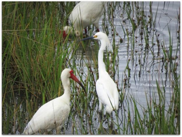 white ibis snowy egret