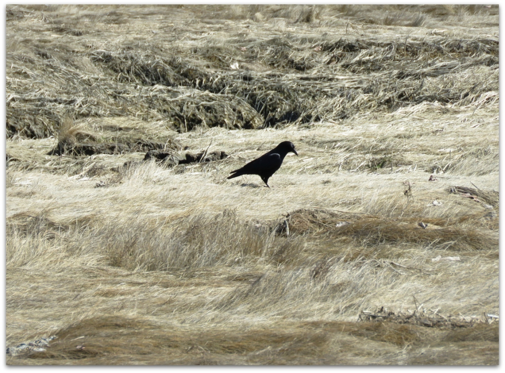 marsh crow