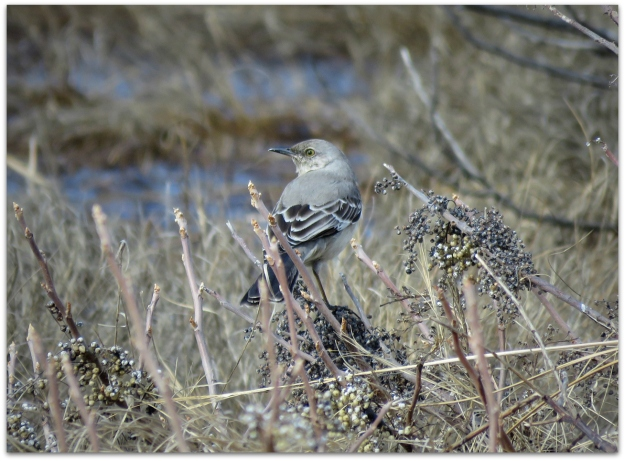 Northern Mockingbird Depot Road
