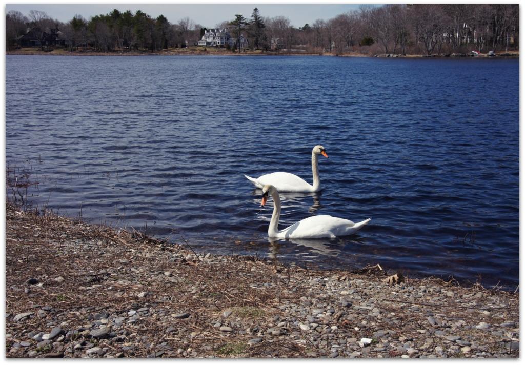 mute swans eel pond rye