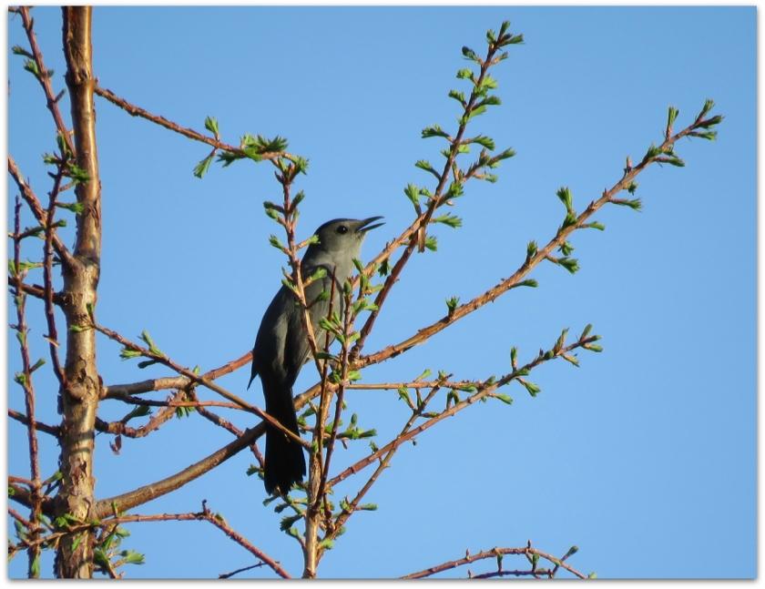 catbird dawn