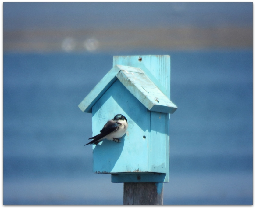 tree swallow seabrook