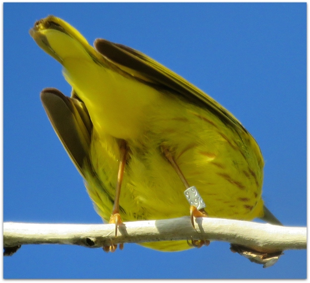 banded Yellow Warbler