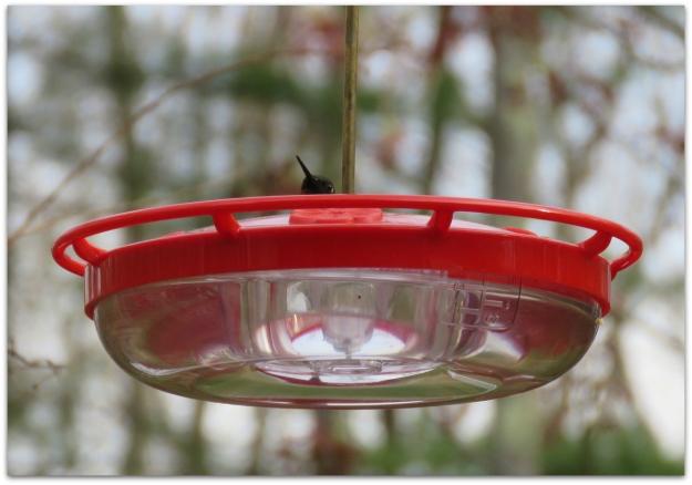 peekaboo hummingbird