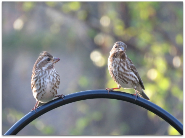 purple finch females