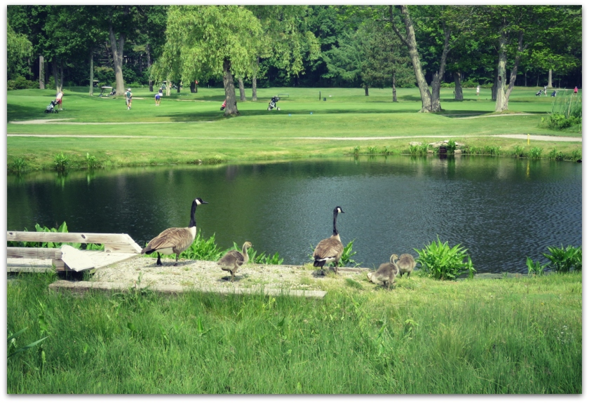 geese golf course