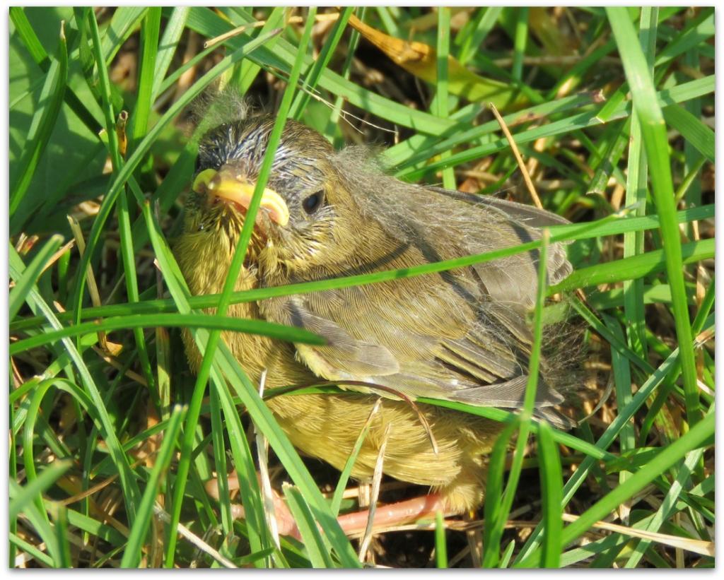Common Yellowthroat chick