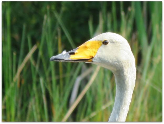 Whooper Swan bill