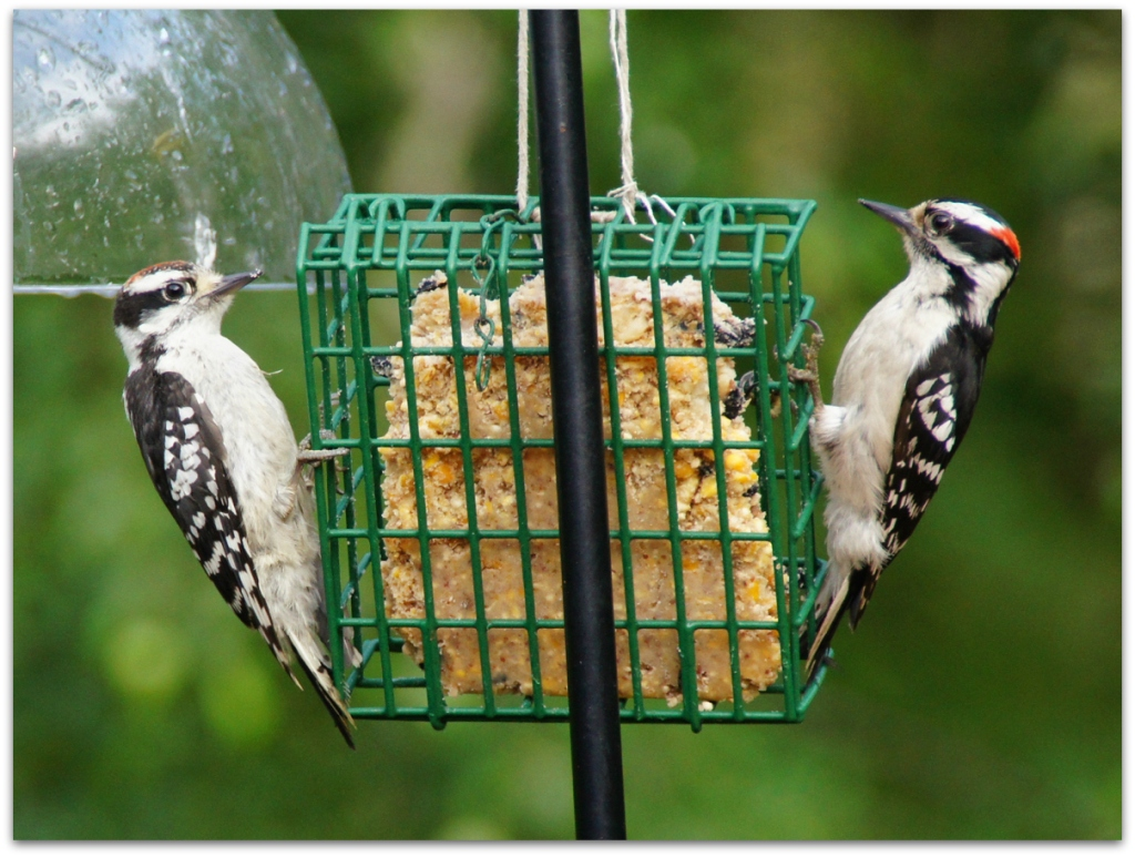 2 downy woodpeckers