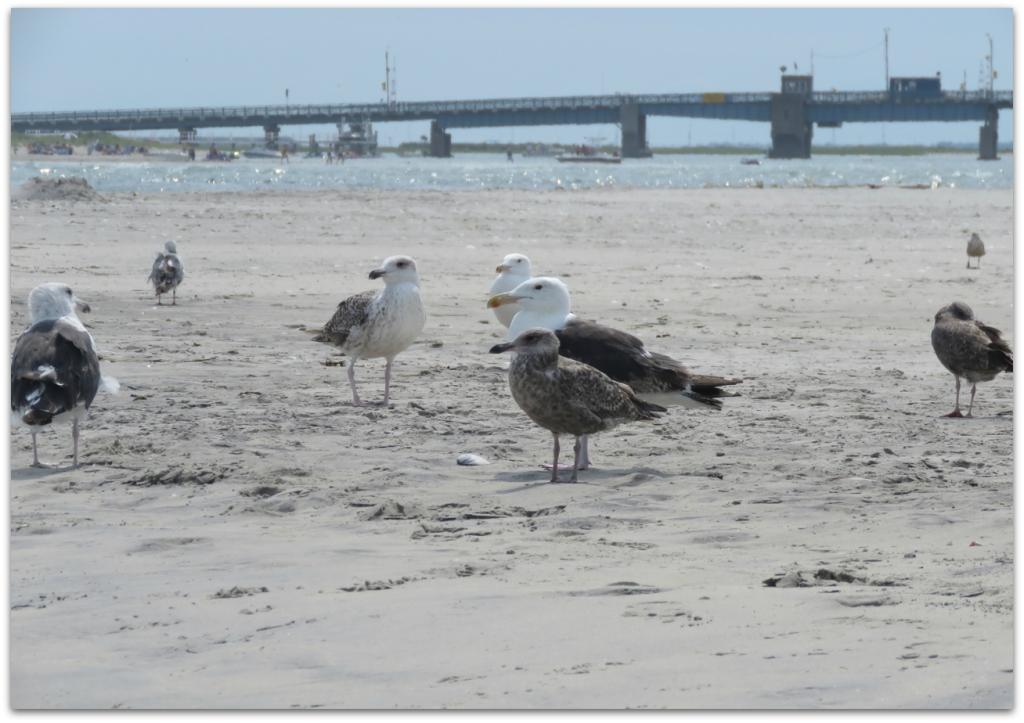 Gulls at Corson's Inlet