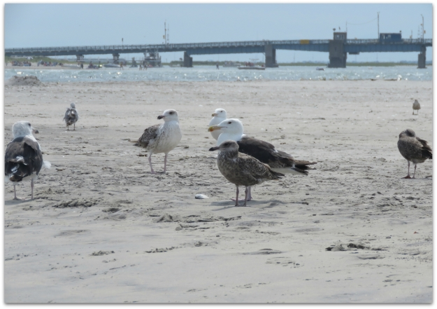 Gulls at Corson's Inlet