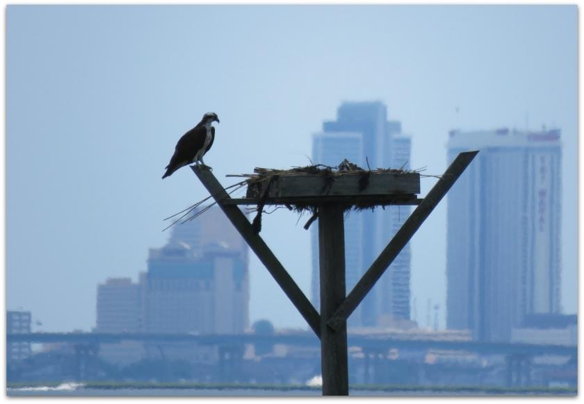 osprey platform