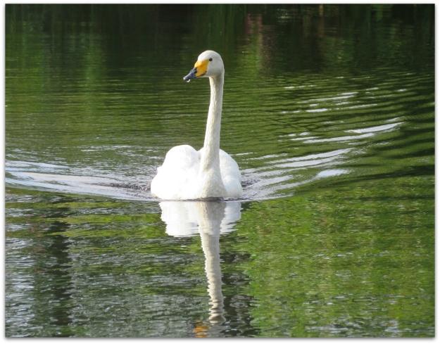 whooper swan nh