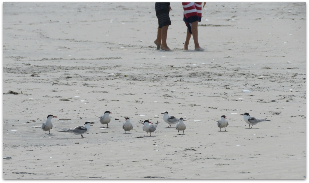 terns ocean city