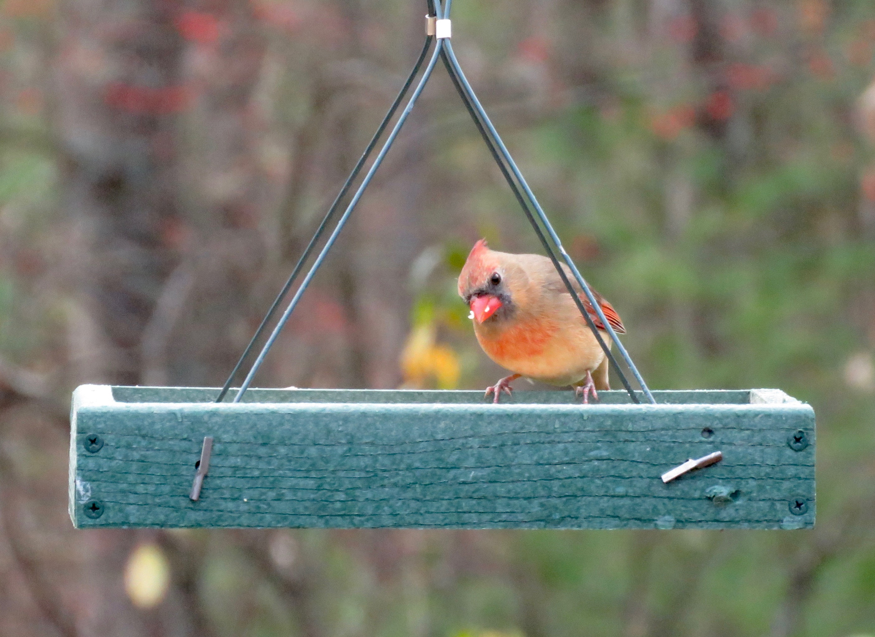 northern cardinal u2013 amy u0027s birds