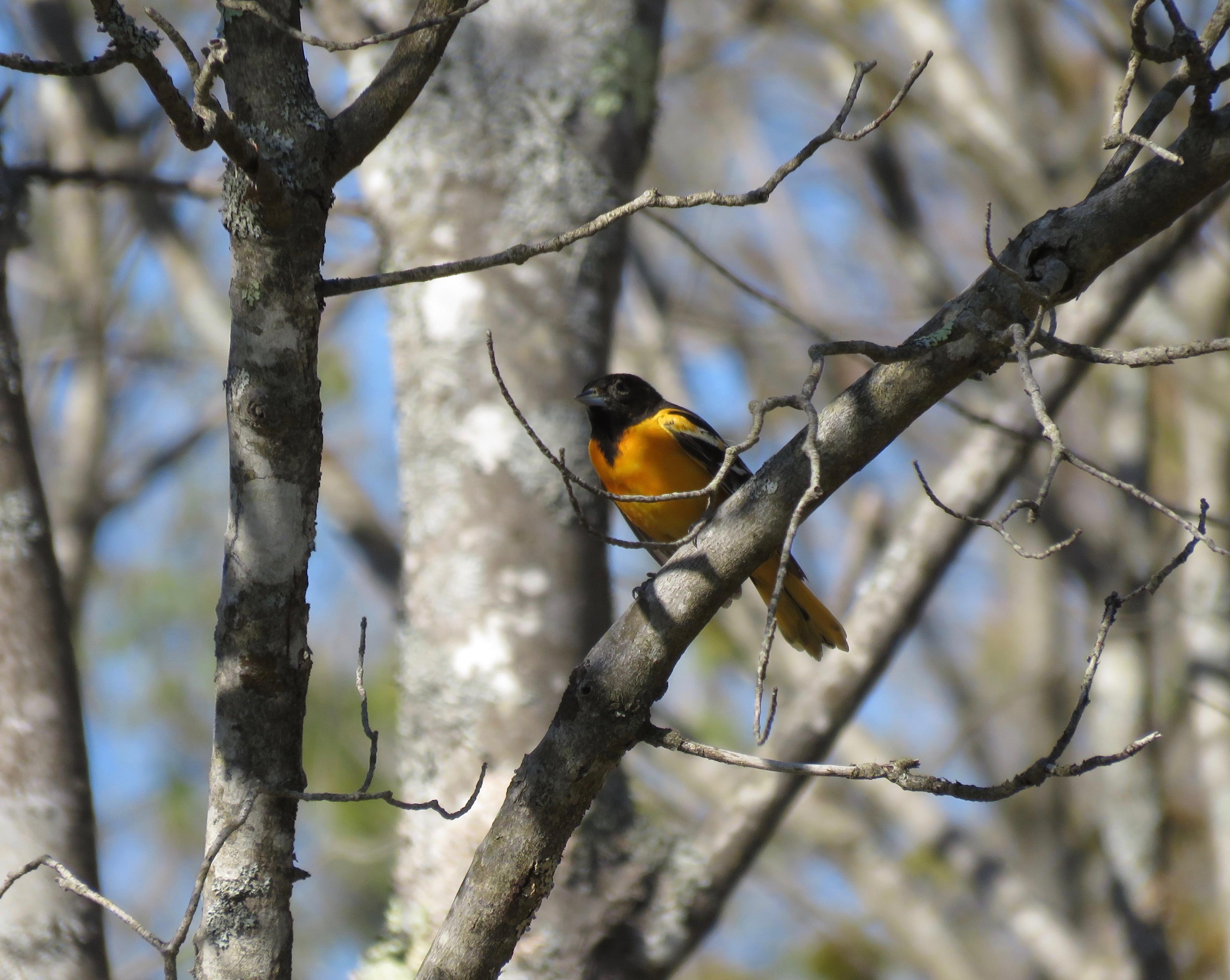Oriole de Baltimore - los pájaros de Amy