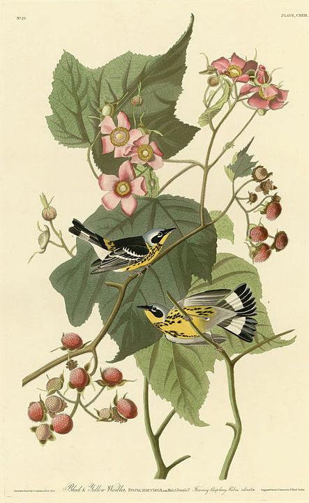 1024px-123_Black_&_Yellow_Warblers
