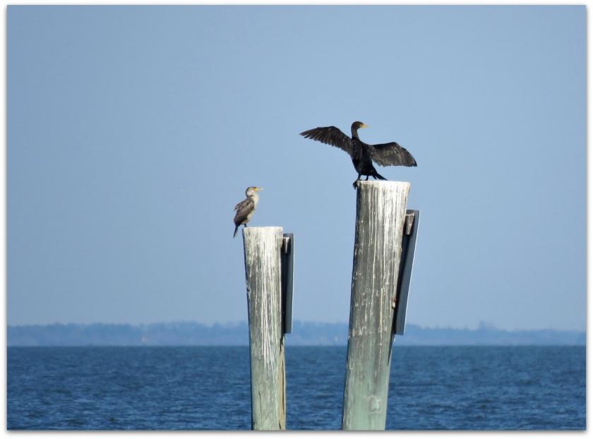 cormorant3