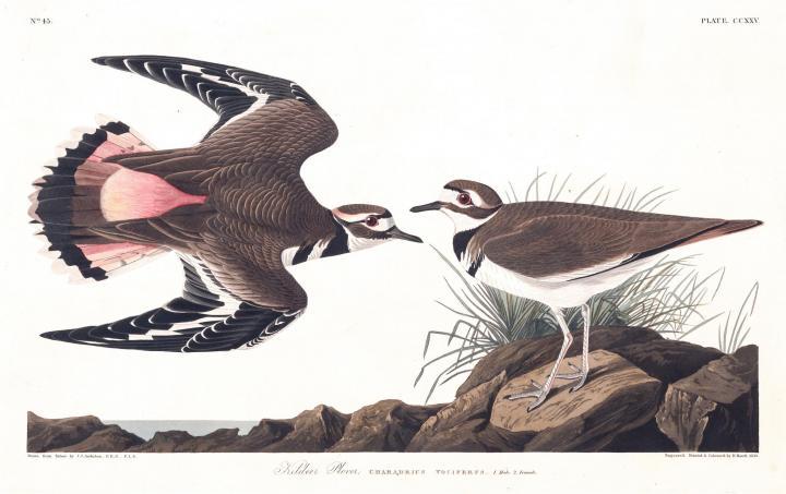 killdeer_audubon_0_full_width